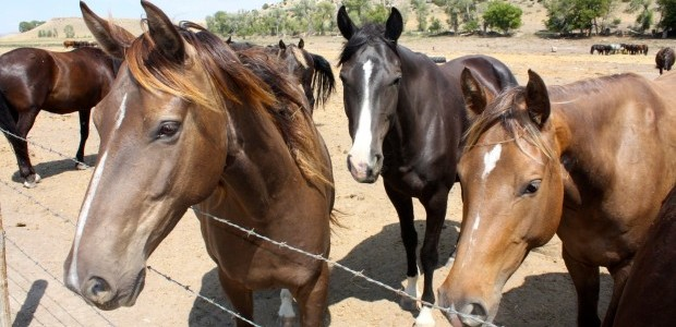 Find your own Rocky Mountain Horse on the Sales site!
